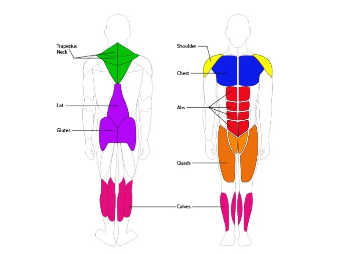 muskelgruppen